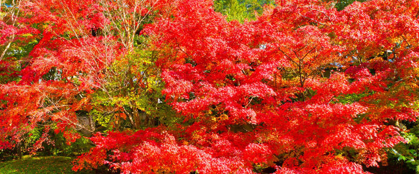 Kyoto Red Leaves Information